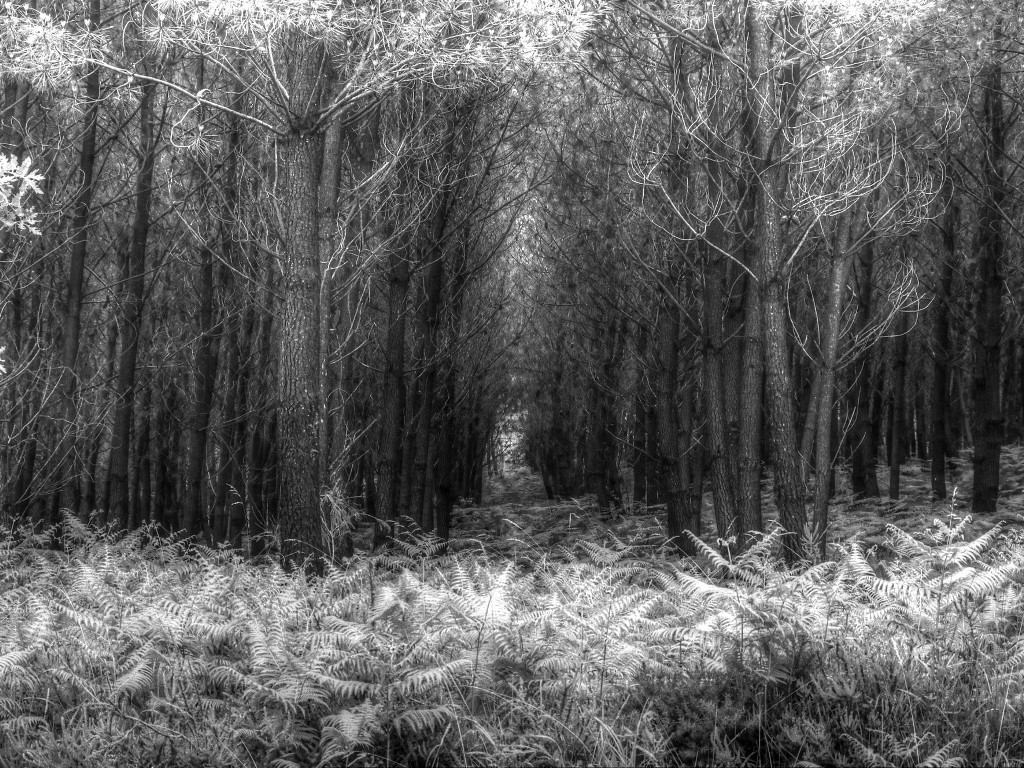 Nature Wallpaper: Forest - Black and White