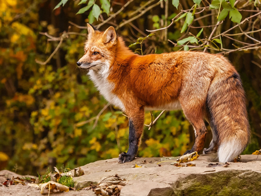 Nature Wallpaper: Fox