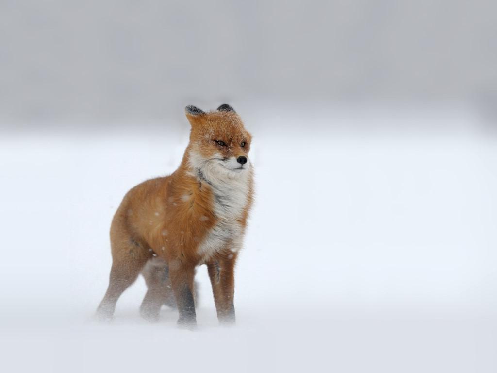 Nature Wallpaper: Fox - Wind