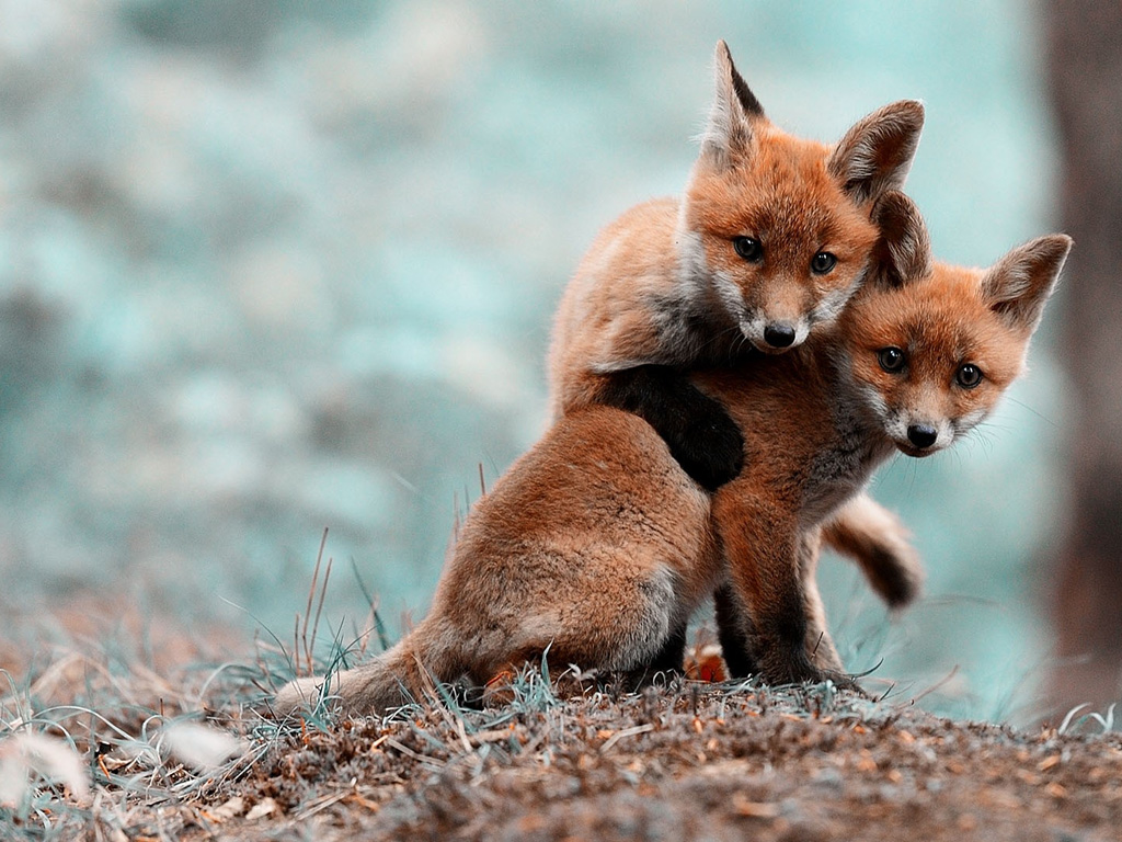 Nature Wallpaper: Foxes - Puppies