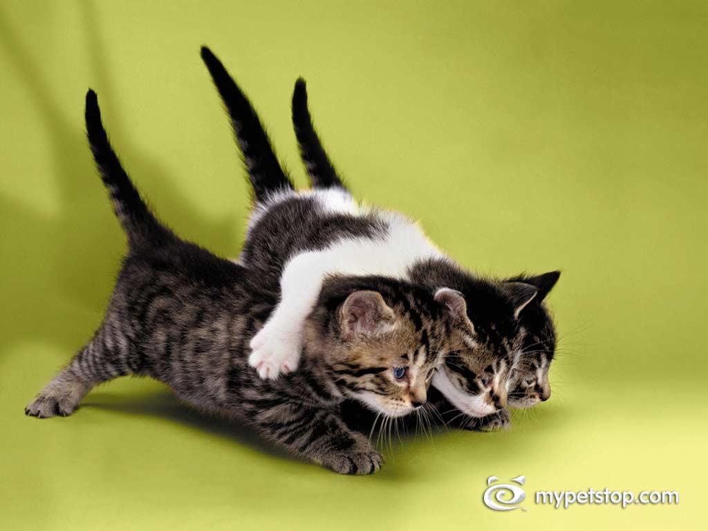 Nature Wallpaper: Friendly Kittens