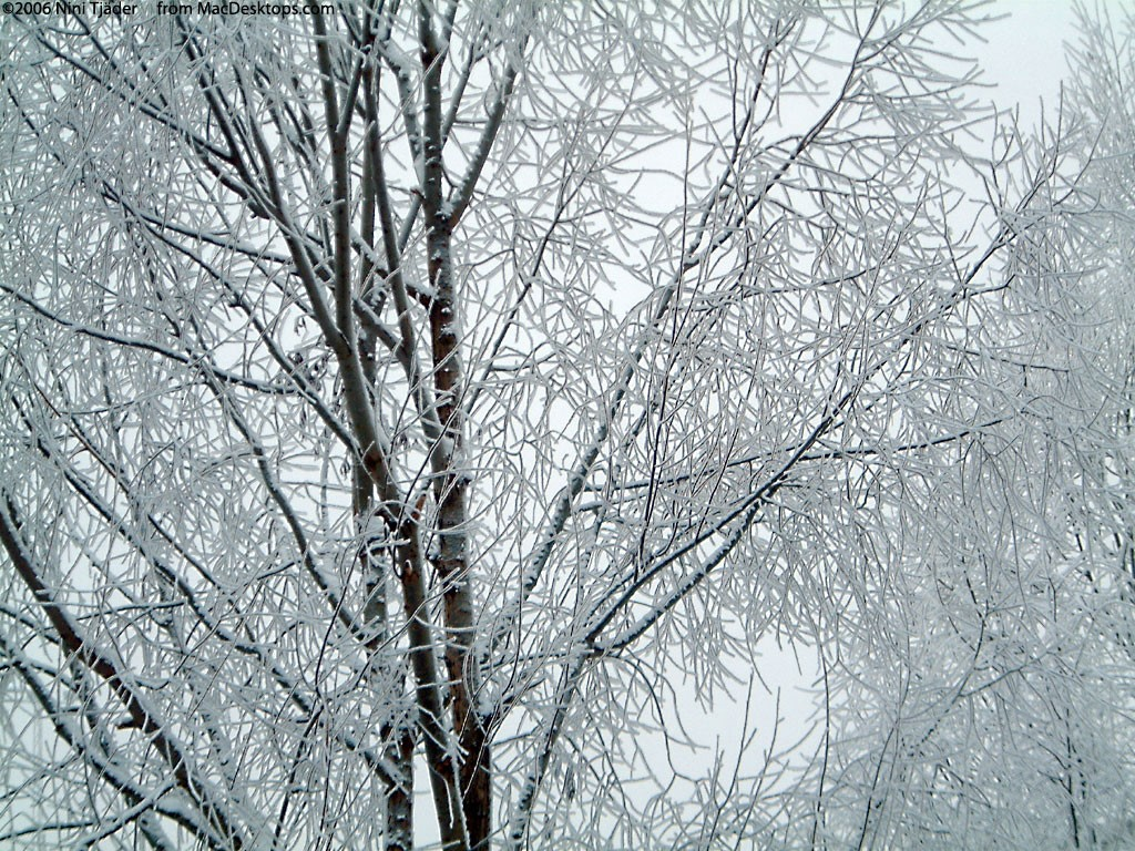 Nature Wallpaper: Frosty Tree