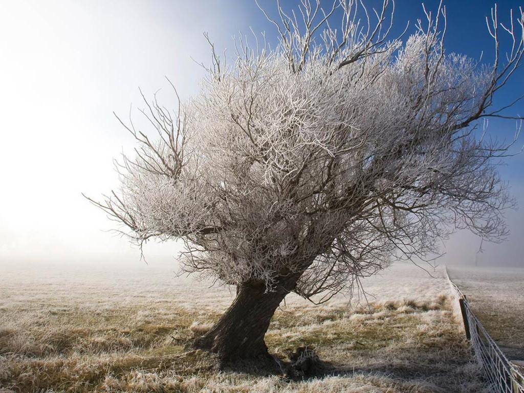 Nature Wallpaper: Frozen Tree