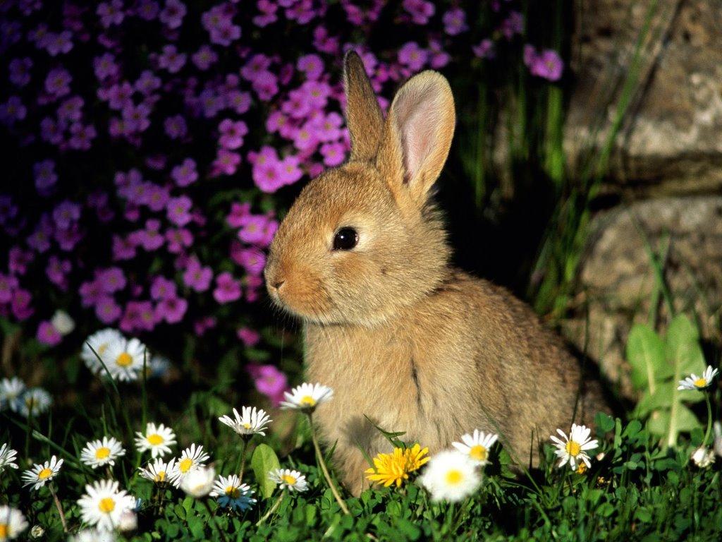 Nature Wallpaper: Bunny