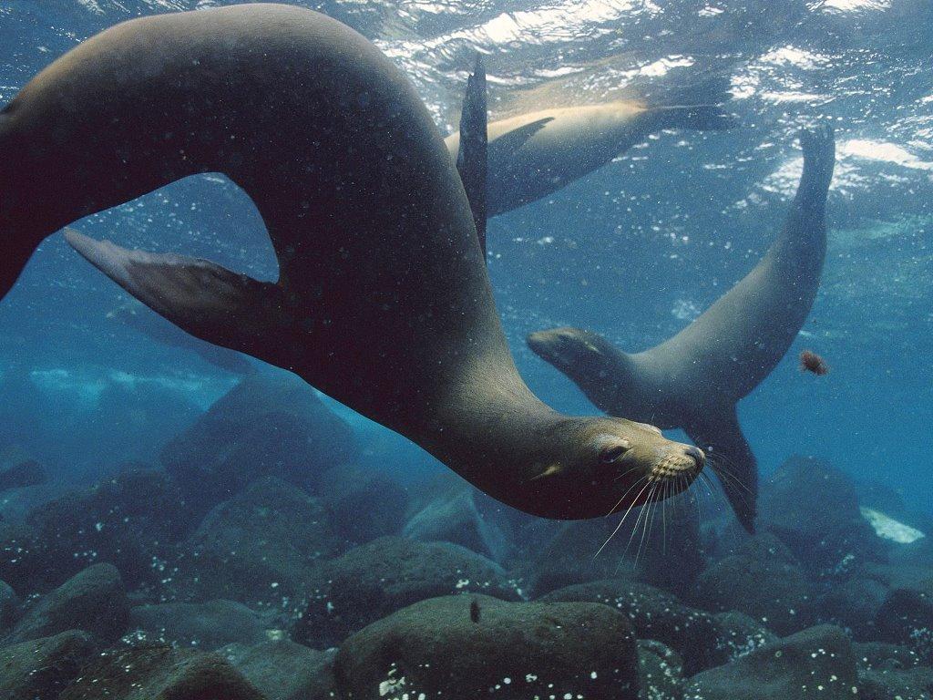 Nature Wallpaper: Galapagos - Sea Lions
