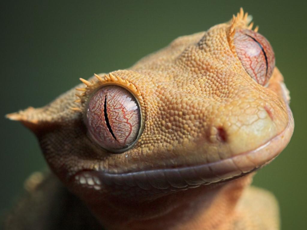 Nature Wallpaper: Gecko - Eyes