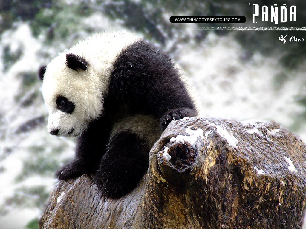 Nature Wallpaper: Giant Panda