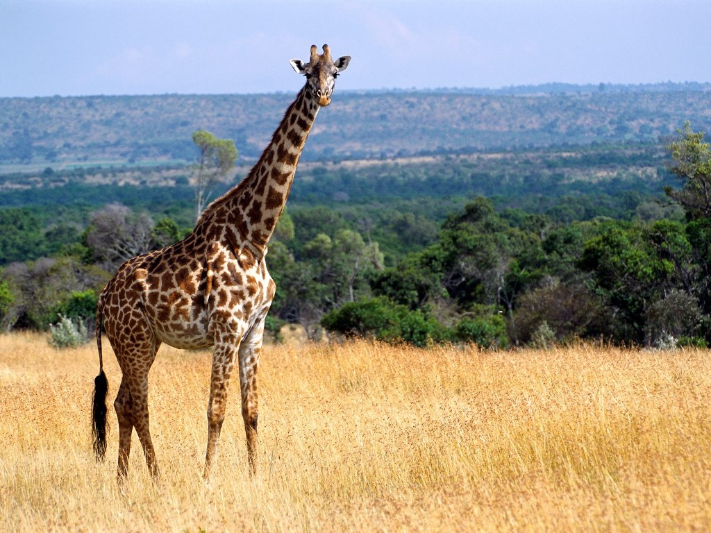 Nature Wallpaper: Giraffe