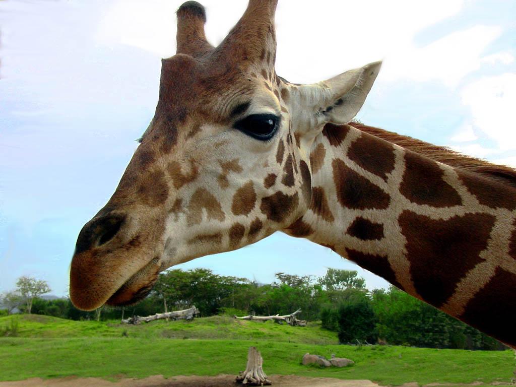 Nature Wallpaper: Giraffe