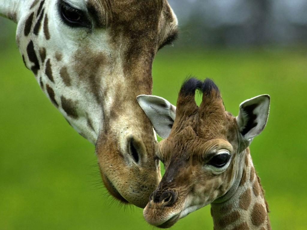 Nature Wallpaper: Giraffes - Loving Mother