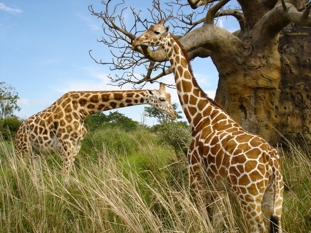 Nature Wallpaper: Giraffes