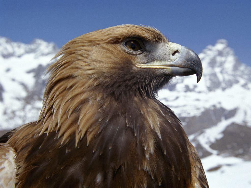 Nature Wallpaper: Golden Eagle