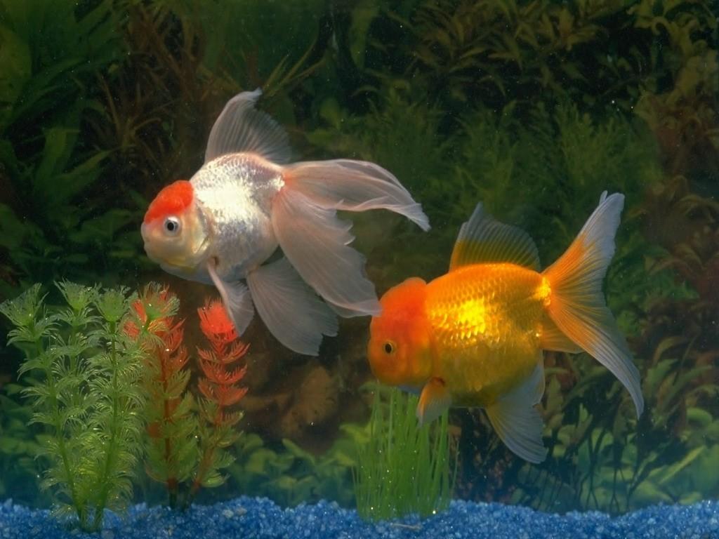 Nature Wallpaper: Golden Fish
