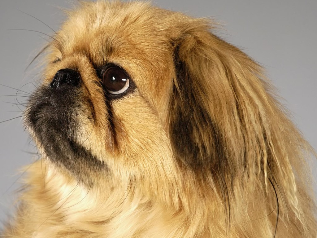 Nature Wallpaper: Golden Pekingese