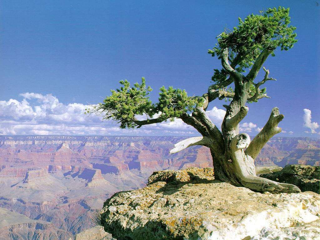 Nature Wallpaper:  Grand Canyon - Tree