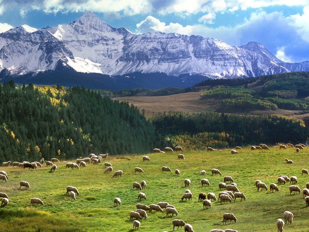 Nature Wallpaper: Grazing Sheep - Colorado