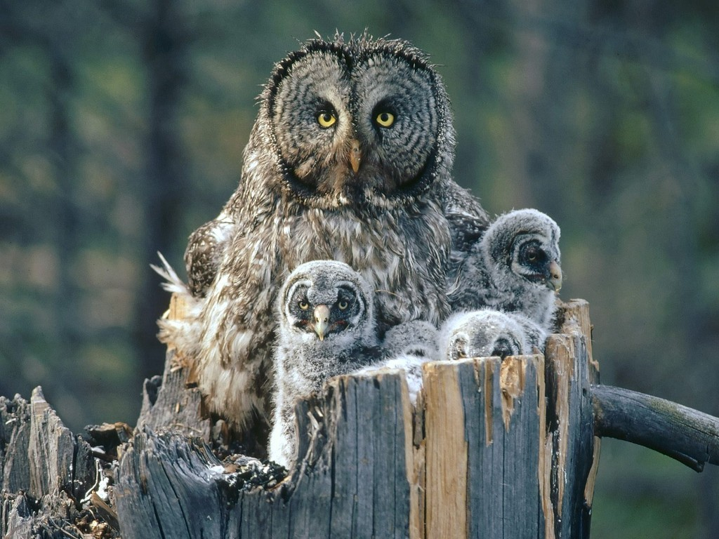 Nature Wallpaper: Great Gray Owl and Owlets
