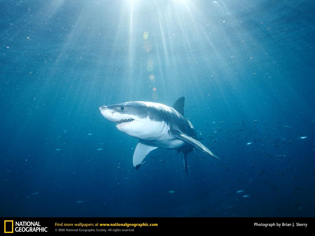 Nature Wallpaper: Great White Shark