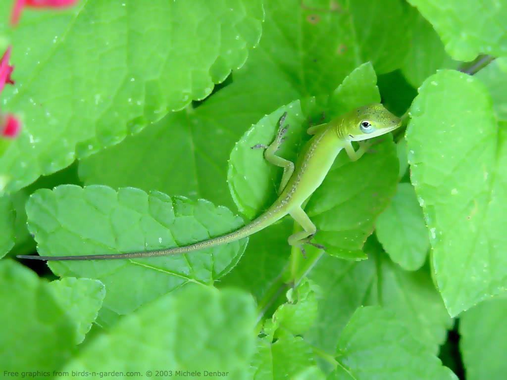 Nature Wallpaper: Green Anole