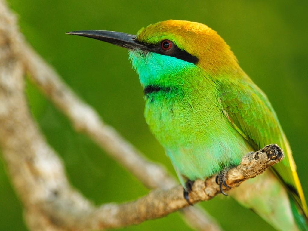 Nature Wallpaper: Green Bird