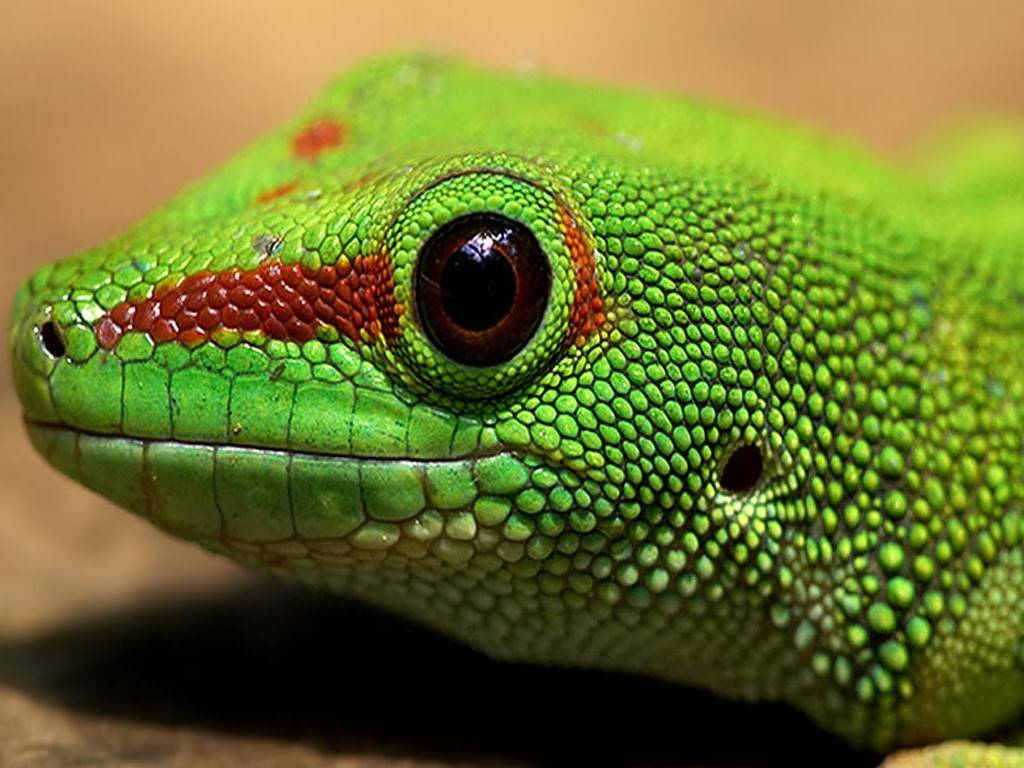 Nature Wallpaper: Green Iguana