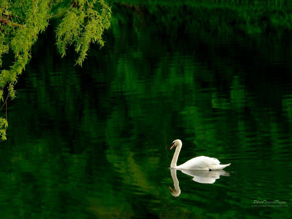 Nature Wallpaper: Green Lake and Swan