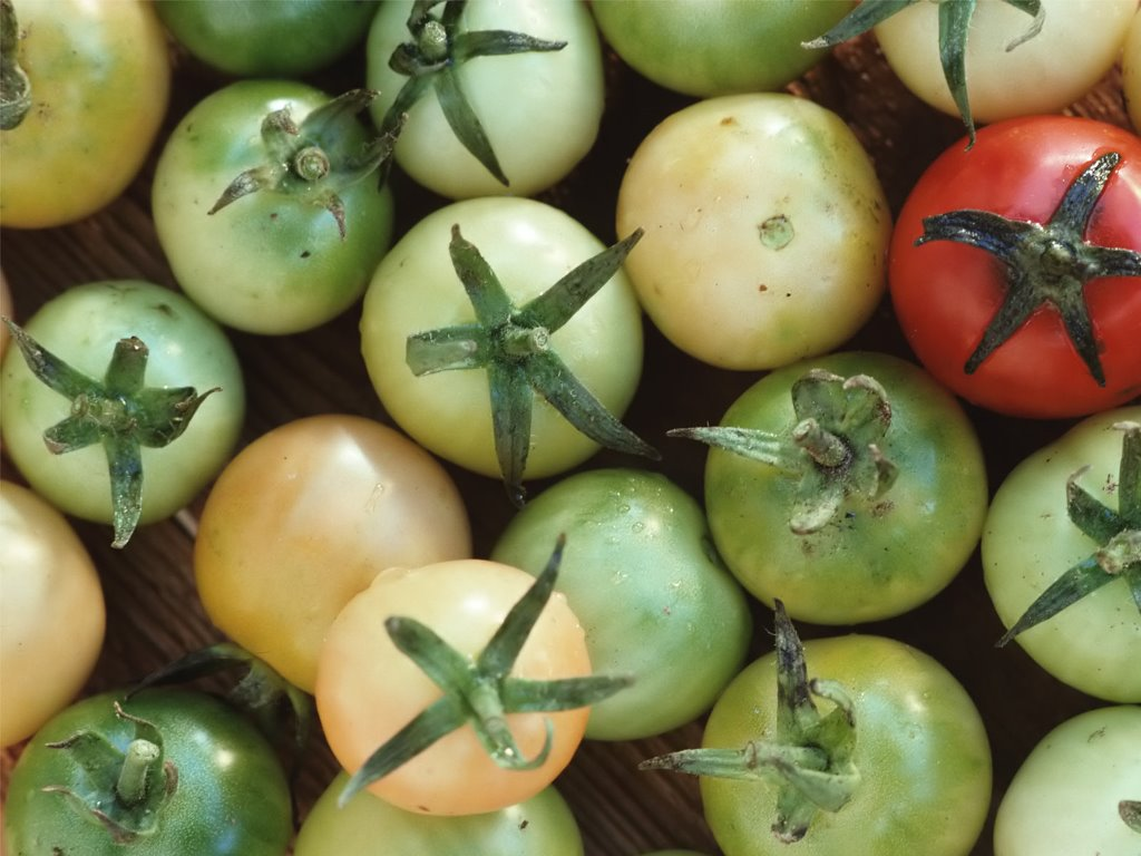 Nature Wallpaper: Green Tomatoes