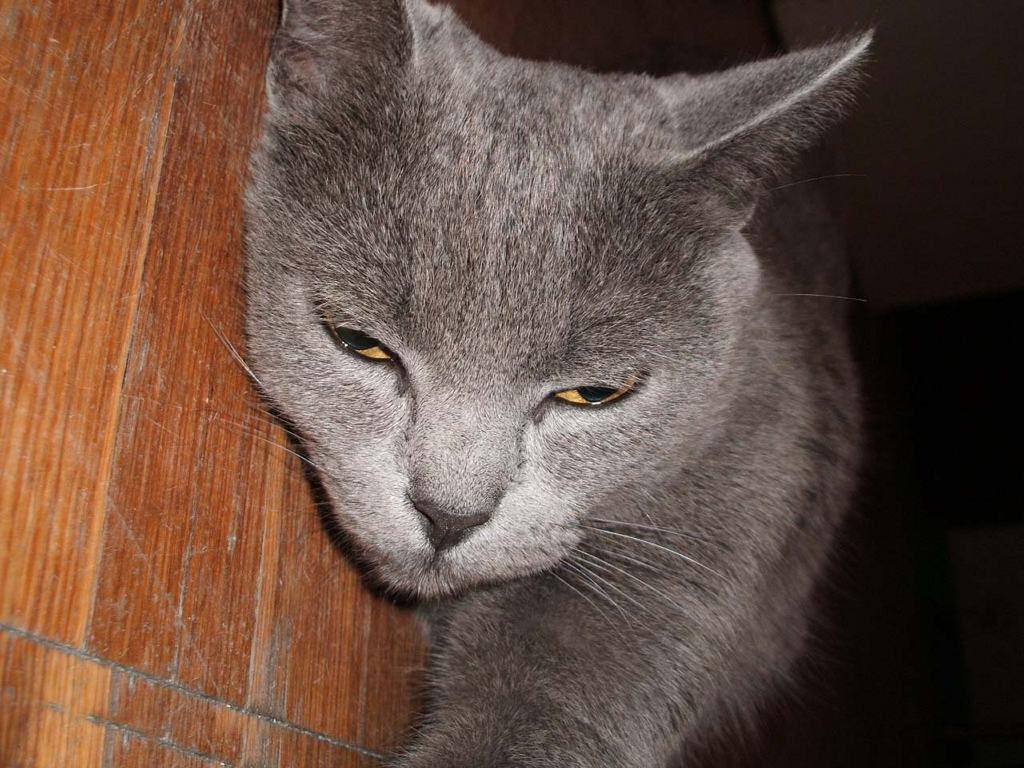 Nature Wallpaper: Grey Cat