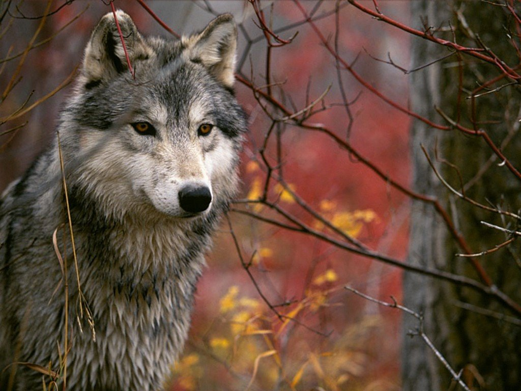 Nature Wallpaper: Grey Wolf