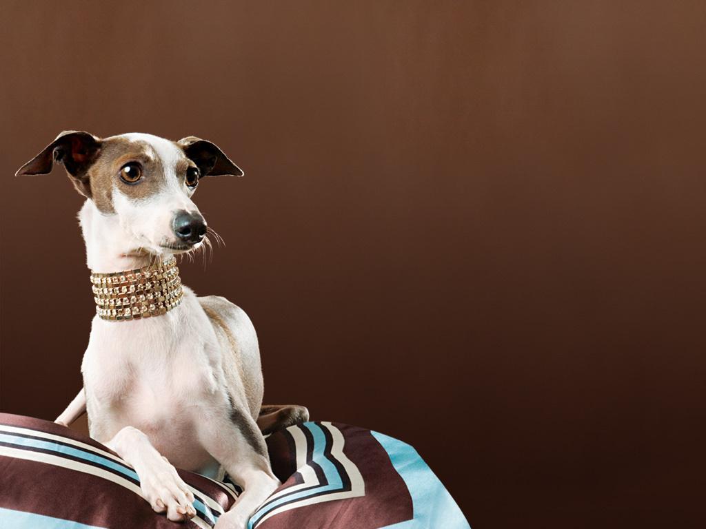 Nature Wallpaper: Greyhound
