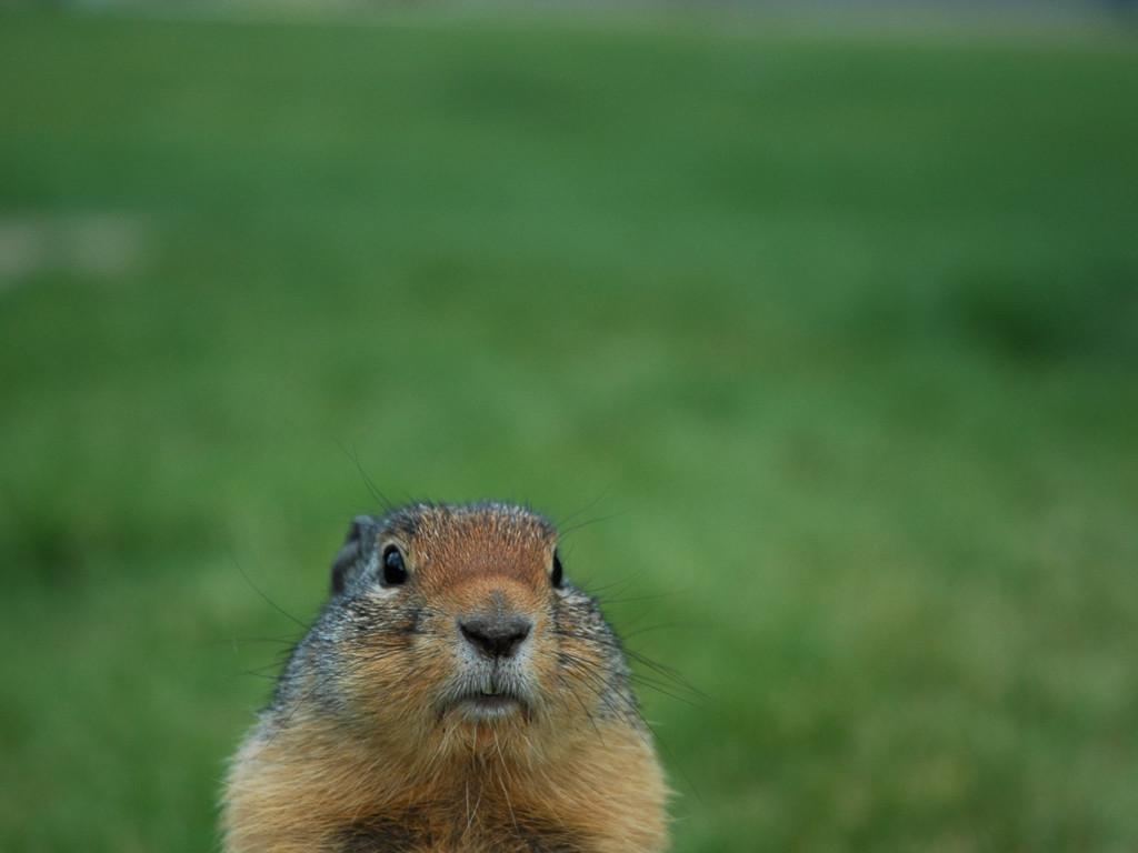 Nature Wallpaper: Groundhog