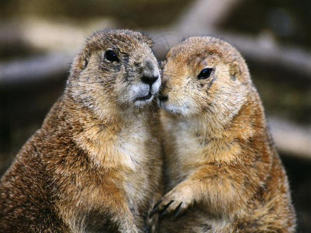 Nature Wallpaper: Groundhogs in Love