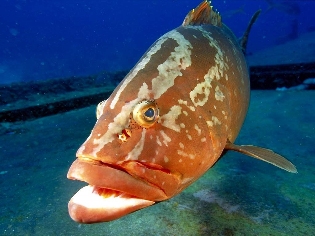 Nature Wallpaper: Grouper