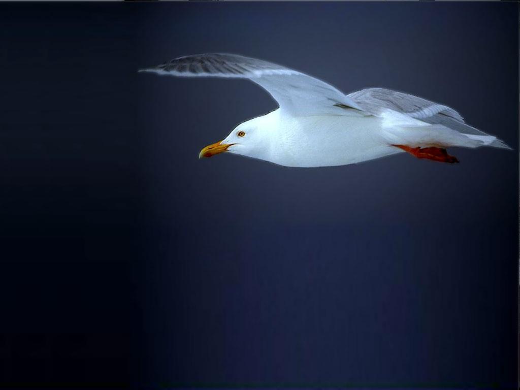 Nature Wallpaper: Gull