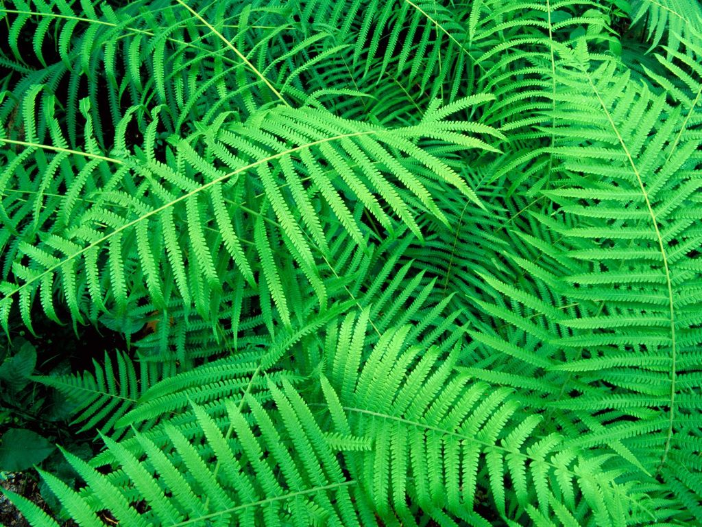 Nature Wallpaper: Hammock - Fern
