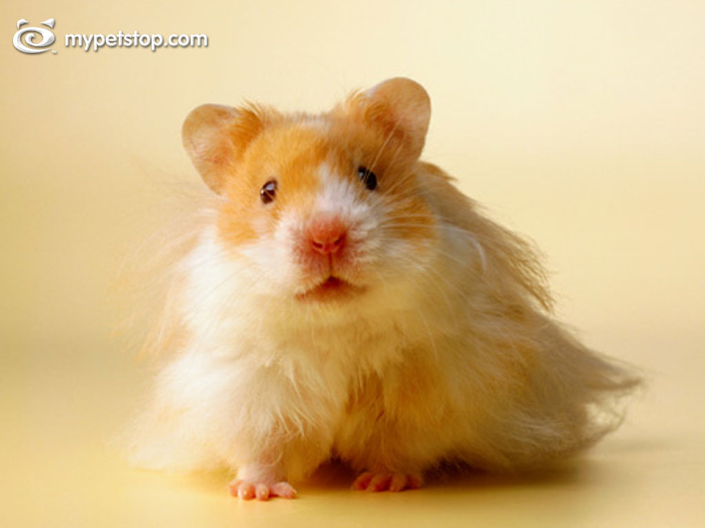 Nature Wallpaper: Hamster