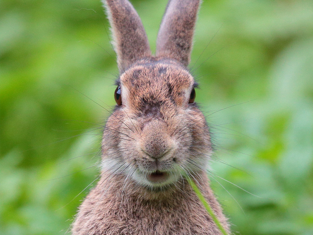 Nature Wallpaper: Hare