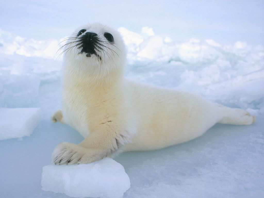 Nature Wallpaper: Harp Seal