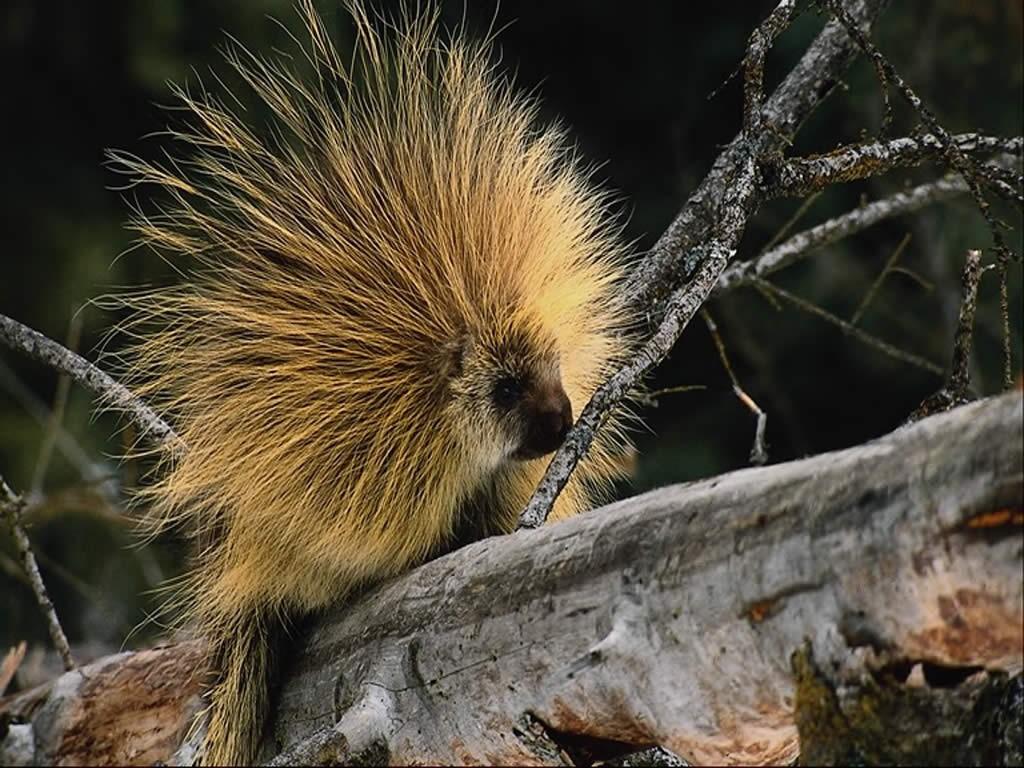Nature Wallpaper: Hedgehog