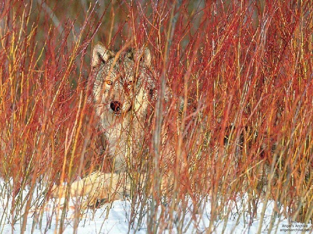 Nature Wallpaper: Hidden Wolf