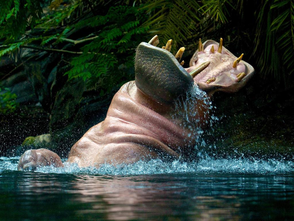 Nature Wallpaper: Hippo