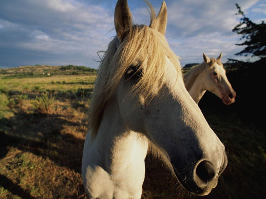 Nature Wallpaper: Horses