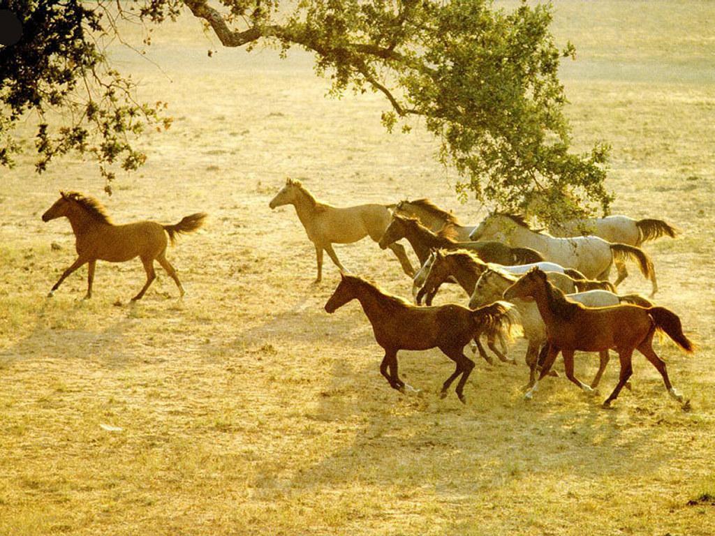 Nature Wallpaper: Horses Running