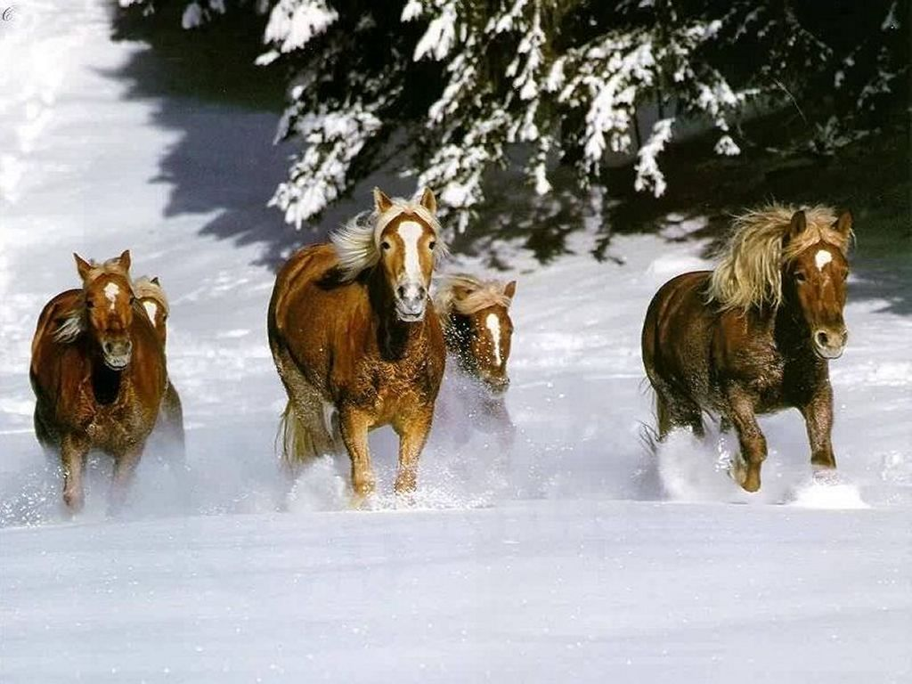 Nature Wallpaper: Horses