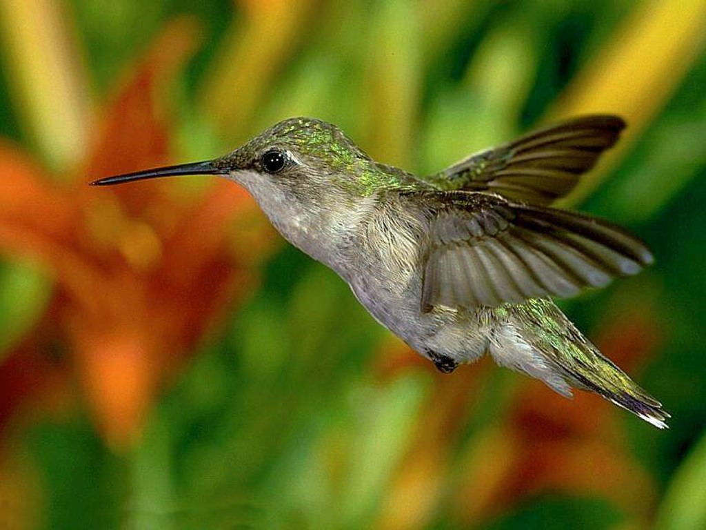 Nature Wallpaper: Humming Bird