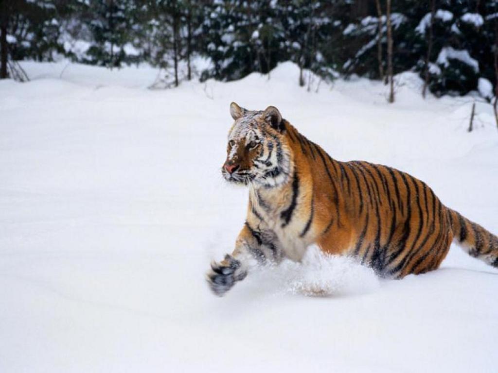 Nature Wallpaper: Hunting Tiger