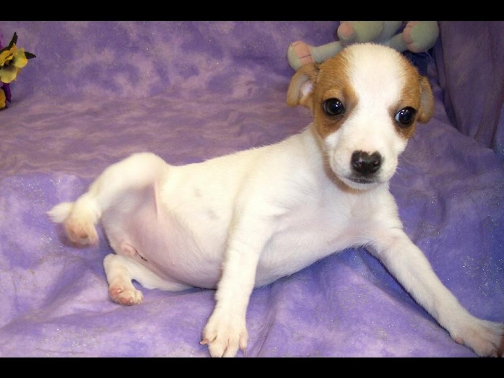 Nature Wallpaper: Jack Russell Terrier - Puppy