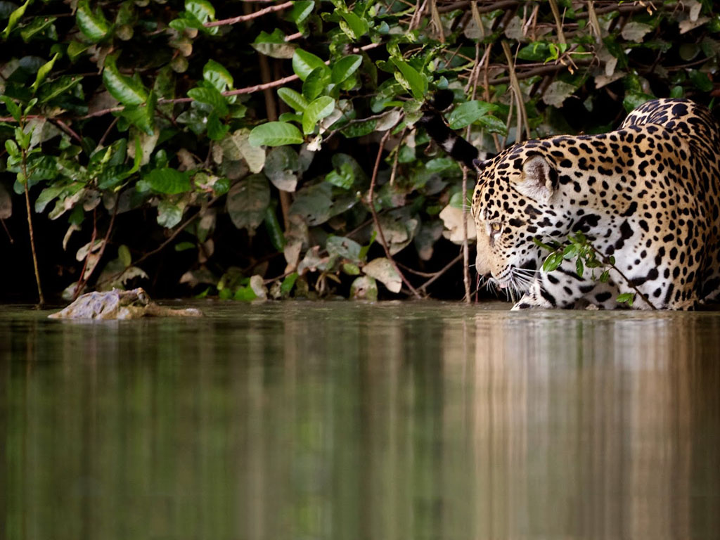Nature Wallpaper: Jaguar and Alligator