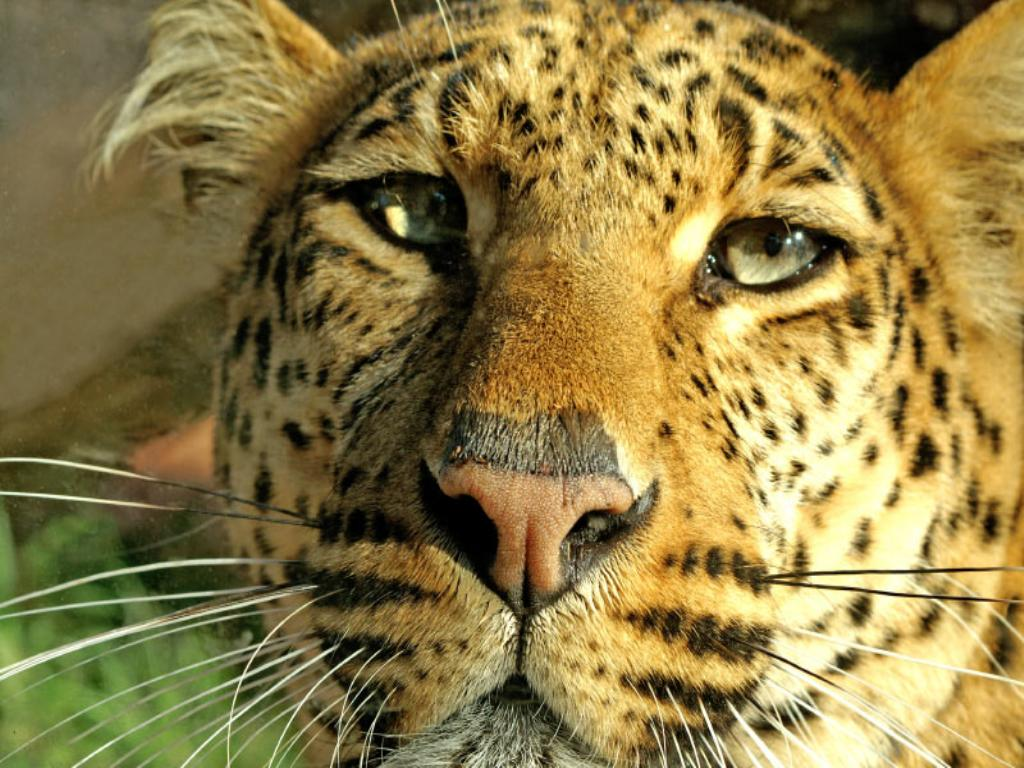 Nature Wallpaper: Jaguar