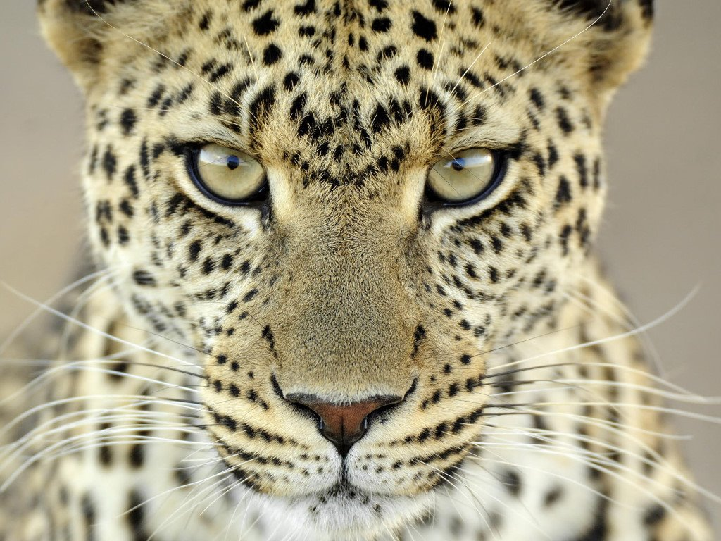 Nature Wallpaper: Jaguar